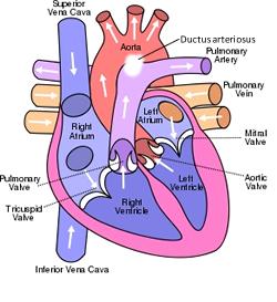 ascending aorta and superior vena cava