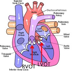 fetal 4 chamber heart